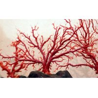 国産 赤珊瑚 血赤 キロ売り